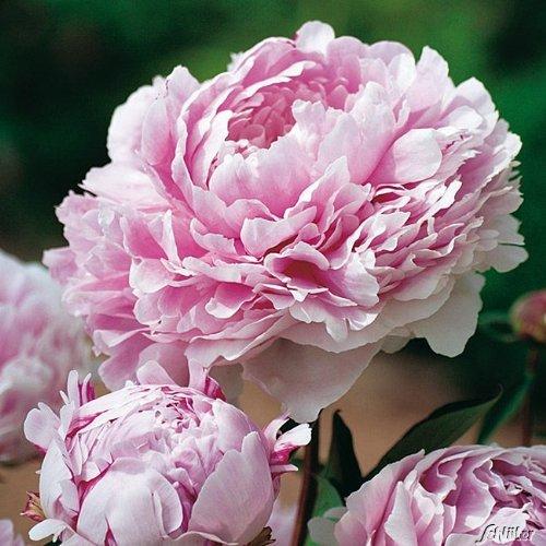 Pfingstrose Sarah Bernhardt - Rose stark...
