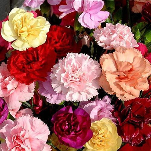 Liziya Plantas Coloridas Semillas,Horticultura, semilla de Clavel botánica-0.5kg,Semillas de Flores Paisaje para