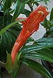 """Semi ad alto tasso di germinazione 'columnea crassifolia' goldfisch plante: starter pflanzen 3-7 """": schiff en 3,25"""" pot: rare! La confezione contiene 1 set di semi L'immagine è solo un'indicazione di tipo"""