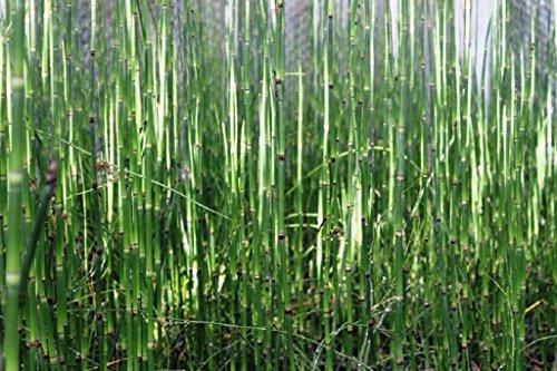 Wasserpflanzen Wolff - Equisetum japonicum - Japanischer Schachtelhalm - Zinnkraut