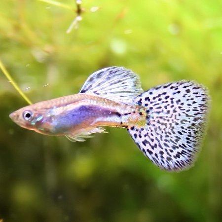 熱帯魚 国産グッピー ブルーグラス 1Pr