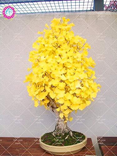 Casavidas 5 Stück Erbstück Bio Ginkgo Biloba Gingko Ginkgobaum Pflanze Nüsse Bonsai-Baum gewachsen Von plsnt Blumentopf für Garten