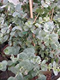 Eucalyptus gunnii - Mostgummi-Eukalyptus - Eukalyptusbaum