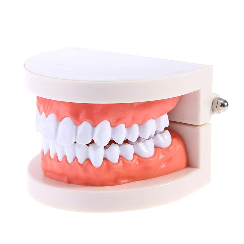 呪い彼ら昇るHealifty 2ピース歯モデル子供歯科教育研究用品大人typodontデモンストレーション歯モデル