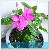 GEOPONICS SEMI: ZLKING 200 pz Rare Bella viola pervinca ca luce del fiore molto bella pianta i tuoi fiori del giardino