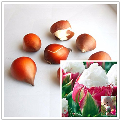 ampoules de haute qualité (tulipes, glaïeuls, shigarlic, bulbes de jacinthes) il n'est pas une graine de fleur, de belles plantes en pot 2PC bulbe Lycoris