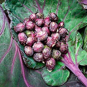 CUSHY libera la nave viola mille teste di semi di cavolo cavoli di Bruxelles cavolo mini sementi di ortaggi - 40 semi