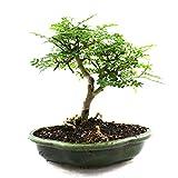 Albero di pepe giapponese, Operculicarya decaryi, bonsai da interno, 13 anni, altezza 20 cm