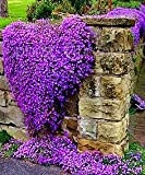 100pcs/bag Creeping Thyme Seeds or Blue Rock Cress Seeds Perennial Ground cover flower, Natural growth for home garden 9