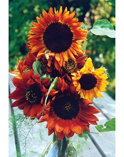 """Premier Seeds Direct SUN17F Semi di girasole """"Arachidi"""" più fini (confezione da 75)"""