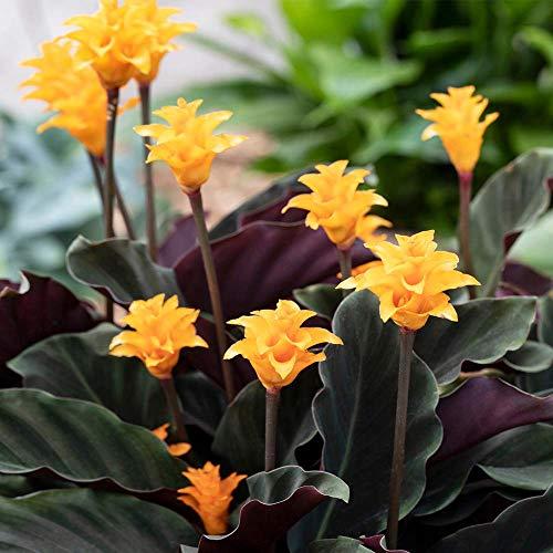 Calathea Crocata Plant - Live Eternal Flame Shrub Indoor Houseplant in 14cm Pot