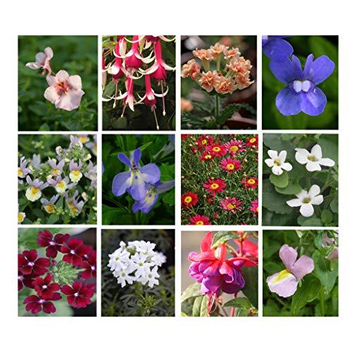 10 Hanging Basket Summer Plug Plants, Ideal Mix of Plug Plants for Garden Hanging Baskets. * Ready...