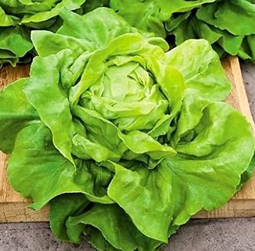 Wintersalat - Salat Buttercrunch Butterhead - Salate - 500 Samen