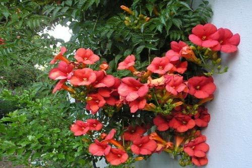 Portal Cool Rote Trompete-Rebe - Amerikanische Klettertrompete (50 Samen) Tropic Stauden Kletter
