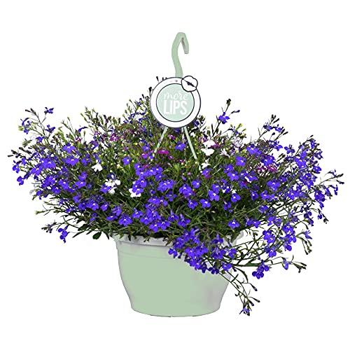 Blaue Lobelie - Pflanze im Hängetopf -...