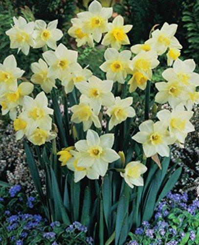 50 Narzissen Pueblo duftend Blumenzwiebeln Narcissus