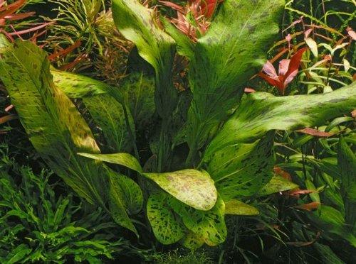 Gefleckte grüne Schwertpflanze / Echinodorus ozelot grün
