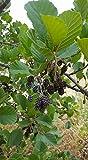 ASTONISH: Aliso - Alnus Glutinosa- 60 Semillas/Semillas Bonsai