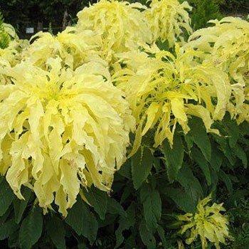 200 Seeds - Amaranthus Josephs Mantel Samen (gelb)