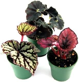 Begonia Rex - Grower's Choice