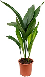 Cast Iron Plant - Aspidistra Elatior - Beautiful Live 6 Inch Pot