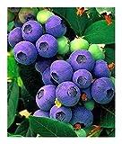 Heidelbeeren - 20 Samen