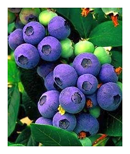 Blueberry seeds - myrtille - 20 graines