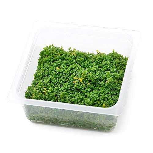 (水草)オリジナル組織培養 キューバパールグラス(無農薬)(1カップ) 北海道航空便要保温