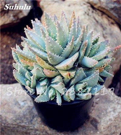 50 Pcs Aloe Vera Graines Beauté comestibles cosmétiques colorés Bonsai Cactus Succulentes Plantes Fleurs Fruits Légumes Graines Pour Balcon