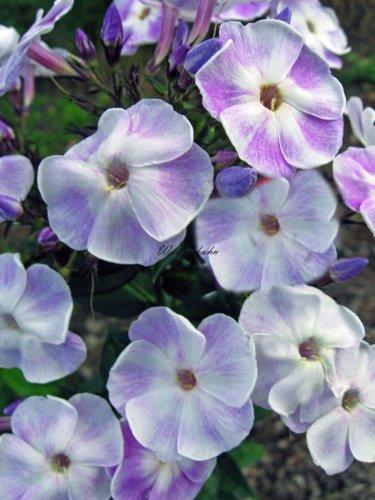Staudenkulturen Wauschkuhn Phlox paniculata 'Violetta Gloriosa' - Staudenphlox - Staude im 11cm Topf