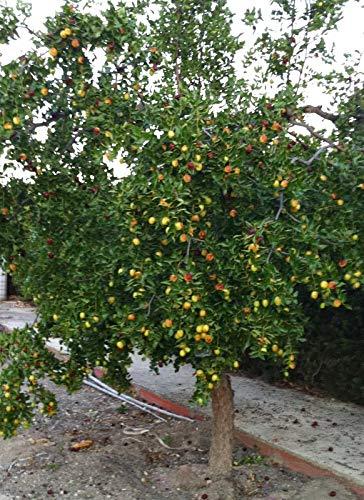 Feuilles de Jujubier/Sidr - 90 Gr Net. Organique - Frais - La plante aux multiples vertues