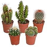 5er Set Kakteen Deko | Kaktus Zimmerpflanze | Kleine Kakteen | Höhe 7-14 cm | Topf-Ø 6 cm