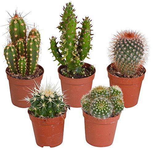 5 x Kaktus | Mischung aus fünf verschiedenen Kakteen | Zimmer-Kaktuspflanzen | Höhe 7-14 cm | Topf Ø 6 cm