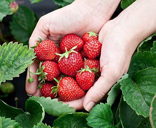 Monats-Erdbeere Rügen min. 250 Samen (0,5g) - 100% Natursamen - ganzes Jahr ernten