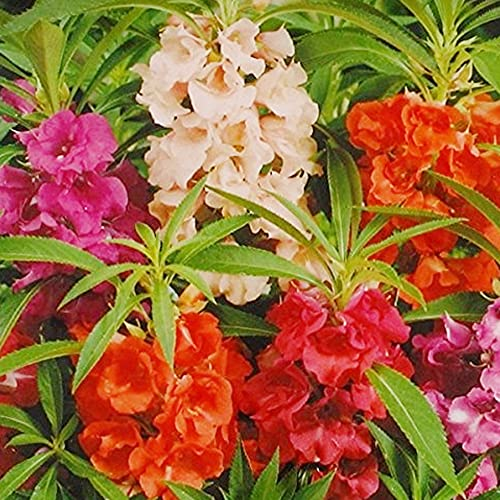 Kraft Seeds Balsam Double Mixed Flower Desi Seeds Summer Variety Special for Home and Balcony Gardening (Buy 1 Get 1 Free) (Multicolor)