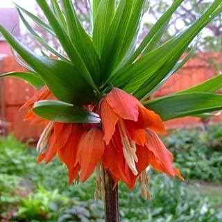 Fritillaria Rubra Orange / Red Flower Bulb Spring Blooming Perennial
