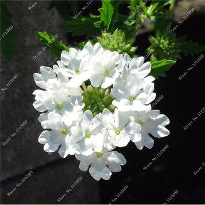 Verbena hybrida Graine verveine Hortensis Bonsai Flowr semences Balcon intérieur Plantes jardin Fleurs colorées Woodland 100 Pcs 4