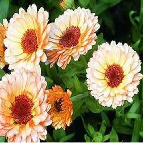 Frisch 1000 Samen - Calendula Rosa Überraschung Blumensamen