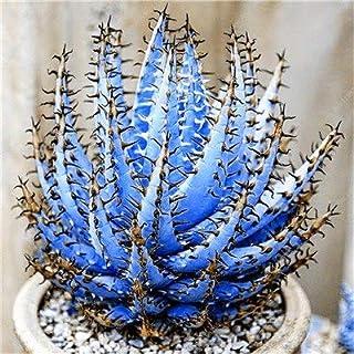 Pinkdose Bonsai 200 Pcs Rare Color Aloe Bonsai Excellent Houseplants Succulent Aloe Vera Bonsai Use Beauty Edible Cosmetic Bonsai Plants: e