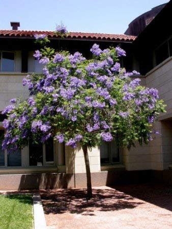Blau Jacaranda-Baum 20 Samen - Tropical