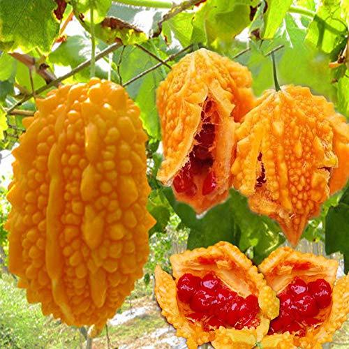 Gold Bitter Gourd Seeds 8 Stück (Momordica charantia) Bio Frische Bitter Melone Gemüse Kräuterpflanzen zum Pflanzen Gartenhof im Freien