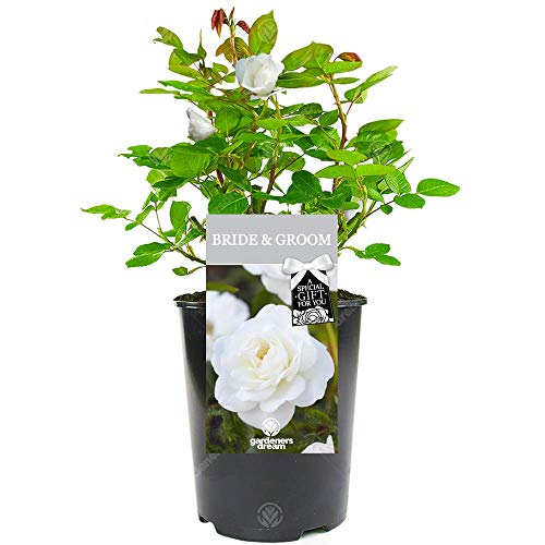 Bride and Groom Rose - Celebrate The Happy Couple's Big Day with a Unique Living Plant Gift