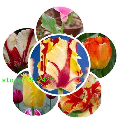 100pcs / sac Graines Bonsai Tulip 500 variétés Seeds Black Rainbow Violet Bleu Jaune Tulip Fleur de plantes en pot