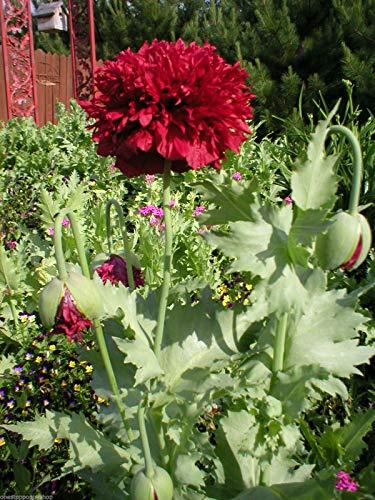 SANHOC 500 Blumensamen Scharlachrot Pfingstrosen Mohnblumen Papaver paeoniflorum # 58
