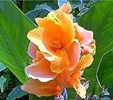 2 Dwarf Canna Rhizomes / Bulbs / Roots - Tropical Sunrise - Order for Spring Planting!
