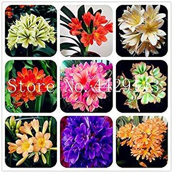 Potseed 100 Pz Clivia, raro della Clivia Fiori, Piante in Vaso dedicato davanzale perenne Fiore per Garden Decor: Mixed