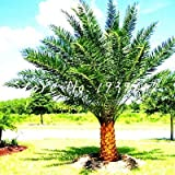 sanhoc 50 pezzi sago palm tree bonsai cycas revoluta tropical fossil facile da coltivare cycad bonsai per indoor pianta in vaso di trasporto: 17