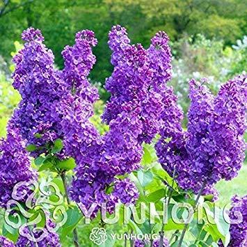 100 Pezzi di Chiodi di Garofano Bonsai, Facile Grow (profumatissimo) Impianto per Il Giardino Domestico di Piante Bonsai: 3