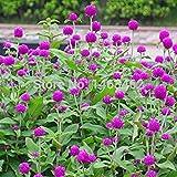 。花の種子:梅雨のコンテナの適切なガーデン[ホームガーデンの種子エコパック】植物種子用Gomphrenaグロボーサ花の種子