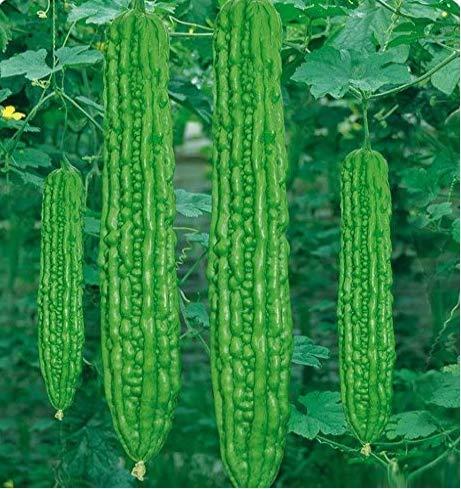 Tomasa Samenhaus- Bio Bittermelone Bitter Samen Melone Kürbis (Momordica charantia) Gemüse Pflanzensamen Gemüsesamen Grüne Pflanzen